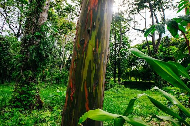 Rainbow eucalyptus trees, forest in costa rica.
