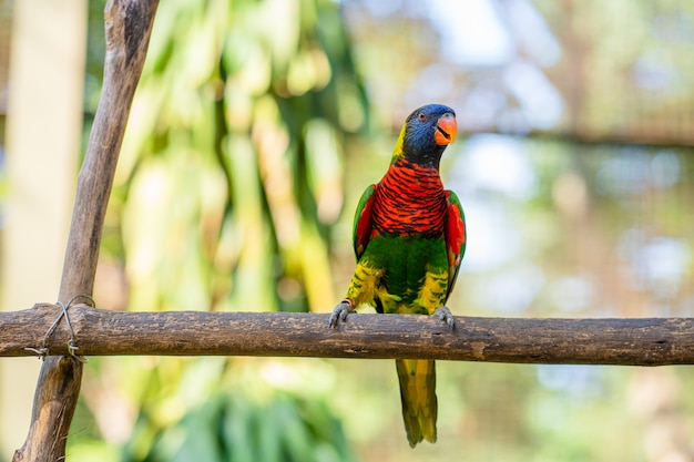 Rainbow lorikeet parrots in a green park.