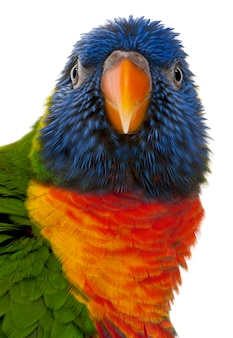 Rainbow lorikeet, trichoglossus haematodus standing ion white isolated