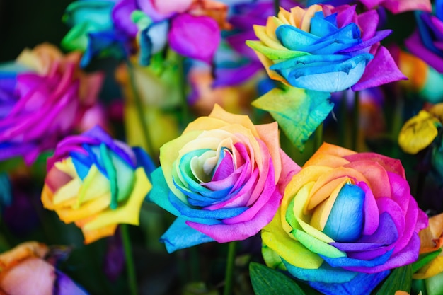Rainbow rose flowers with colorful petals.