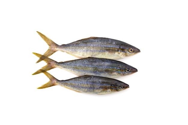 레인보우 러너 물고기 흰색 배경에 고립