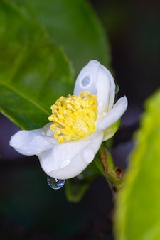 In the raindrops flower of tea plant camellia sinensis white flower on a branch, chinese tea bush blooming, close-up, macro, vertical shot
