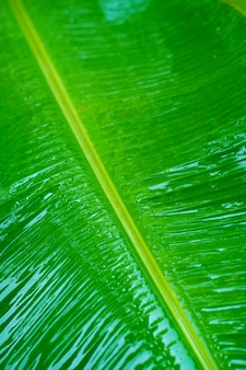Капли дождя на зеленом листе бананового дерева в саду после дождя