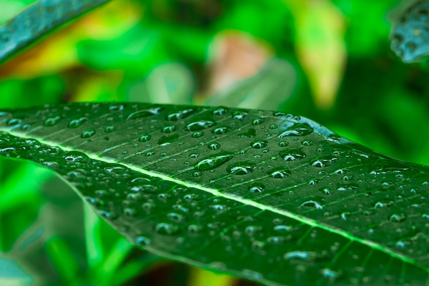 Капли дождя на зеленом листе плюмерии в саду после дождя.