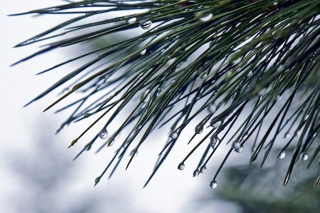소나무 가지에 빗방울
