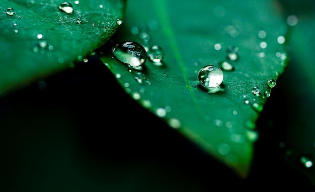 グーズベリーの葉の雨滴美しい木の新鮮なジューシーな葉が雨上がりの露を間近で見る