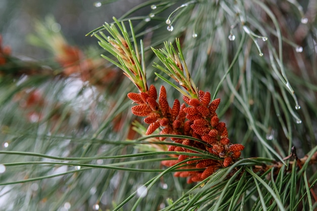 Raindrops on the pine cones and needles after rain closeup. nature after rain.