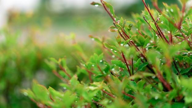 緑の低木に雨のしずく