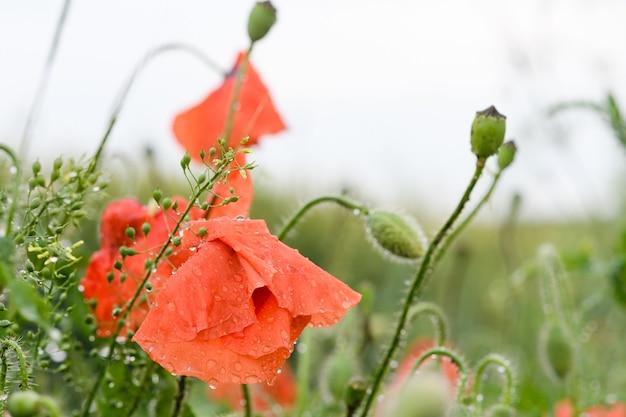 美しい牧草地に大雨水滴と閉じたポピーの花のつぼみと雨の自然の花の背景