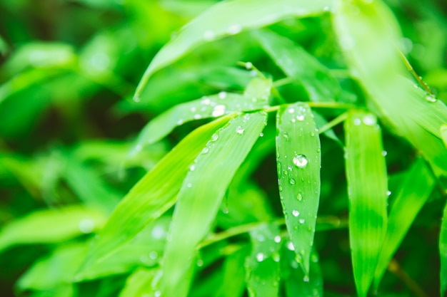 Raining season. rain drops at green leaf of bamboo plant beautiful nature background