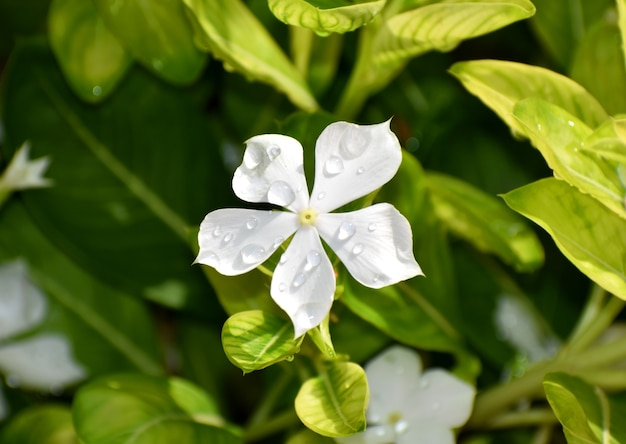 Rainy drops on the white flower