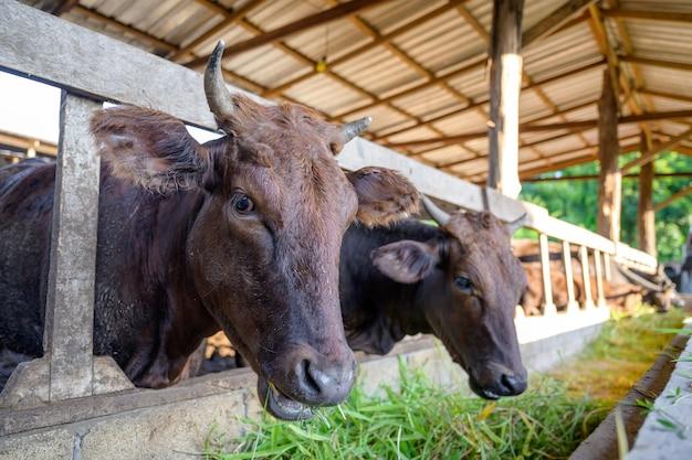 산업 농업 농장에서 와규 소를 키우고 있습니다. 개념:산업 농업 농장에서 외양간 소와 함께 와규 소를 키우는 동물이나 농부.