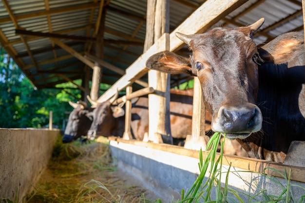 Выращивание коров вагю на промышленной ферме. концепция: разведение животных или фермеры, выращивающие коров вагю с коровами в коровнике на промышленной ферме.