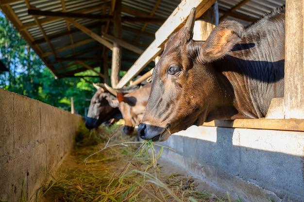 Raising wagyu cows in an industrial farming farm. concept: raising animals or farmers raising wagyu cows with cowshed cows at an industrial farming farm.