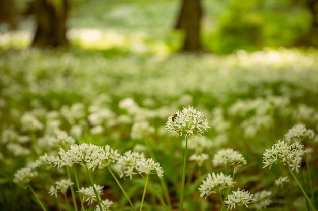 晴れた夏の日の森の中のラムソンとミツバチが植物をポリンする