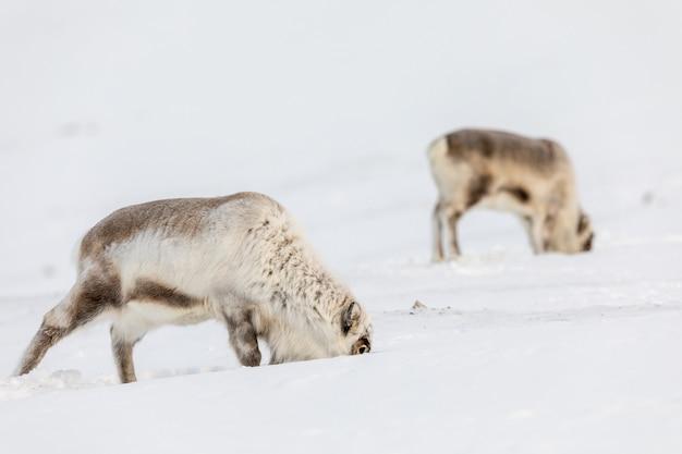 野生のスバールバルのトナカイ、rangifer tarandus platyrhynchus、雪の下で食べ物を探している2匹の動物