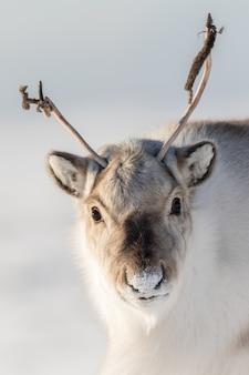 Дикий шпицберген северный олень, rangifer tarandus platyrhynchus, портрет дикого животного с маленькими рогами в шпицбергене, норвегия.