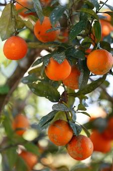 Rangpur lime fruit on the tree closeup