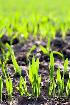 Ряды проростков недавно выращенной зеленой пшеницы. небольшая глубина резкости