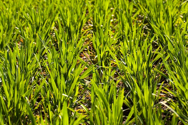 최근 재배 한 녹색 밀의 새싹 순위. 작은 선명도 깊이