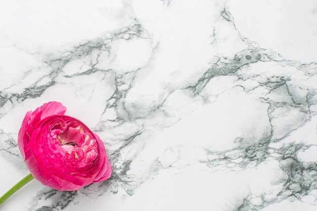 Ranunculi pink flower on marble background with copyspace