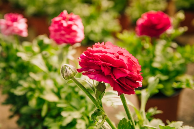Ranunculus asiaticus or persian buttercup pink flower with bud