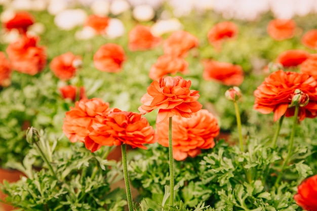 Ranunculus flower blooming in the summer or spring day