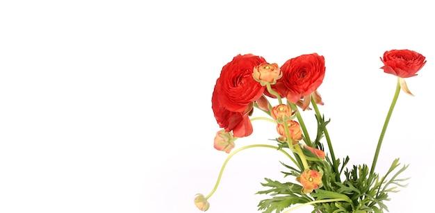 흰색 배경에 고립 된 라넌큘러스 꽃