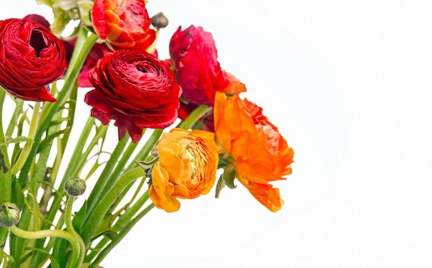 Ранункулюс букет из красных цветов на белом фоне. поздравительная открытка