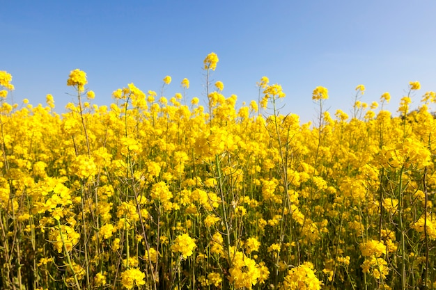 Rape during flowering and pollination by insects, a spring landscape on an agricultural field under a blue sky