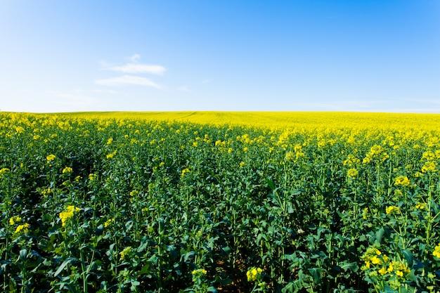 Rape fields in bloom