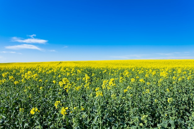 Rape fields in bloom