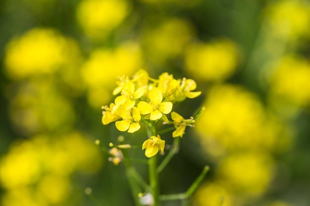 Rape flower close-up