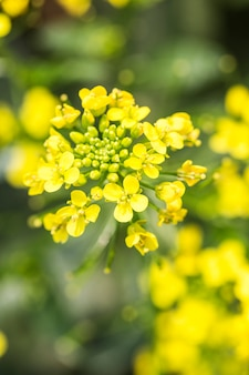 Rape flower close-up