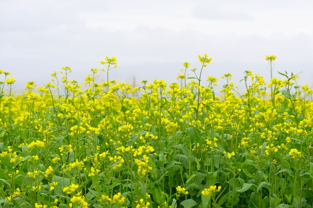 Rape flower field and cloudy sky in qinghai province china