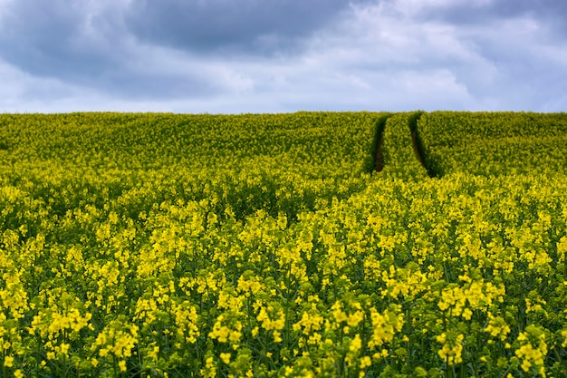 Rape seed flowers at a blue sky with white clouds.