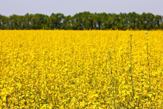 菜の花、黄色い花畑