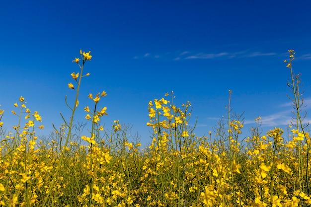 Изнасилование желтых цветов, сфотографировано на фоне голубого неба, малая глубина резкости