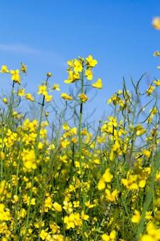 Изнасилование желтых цветов, сфотографированных на поверхности голубого неба, малая глубина резкости