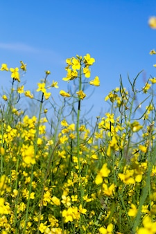 Rape yellow flowers, photographed on a surface of blue sky, shallow depth of field