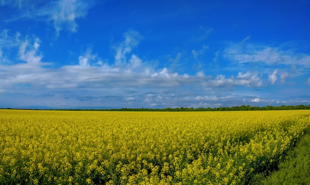 Rapeseed bloom on a field in spring in ukraine