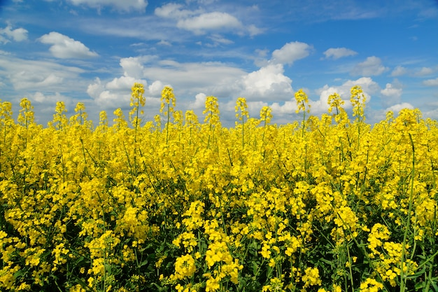 Rapeseed or brassica napus, also known as rape and oilseed rape is a bright yellow flowering member of the family brassicaceae, cultivated mainly for its oil-rich seed