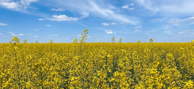 A rapeseed field against a blue sky showing the flag of ukraine, a symbol of ukraine.ukraine independence day.