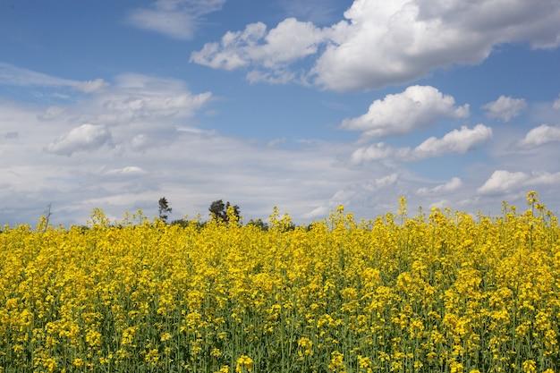 푸른 하늘을 배경으로 밝은 노란색 꽃이 핀 유채꽃