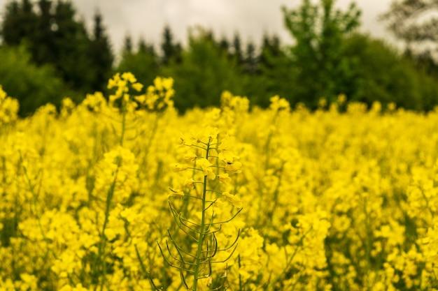 유채 밭, 유채 풍경, 노란 유지종자 꽃