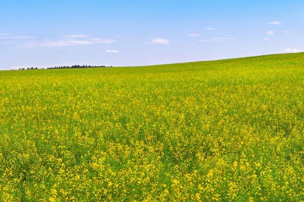 Rapeseed field during flowering