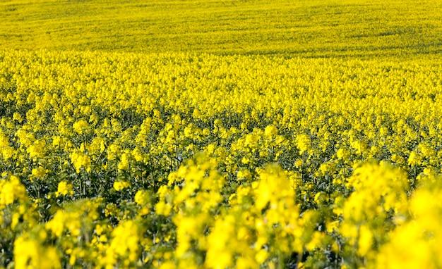 Поле рапса полно желтых цветов, весенний пейзаж без неба