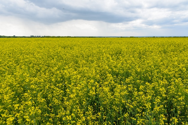 비오는 날의 유채 밭, 피는 카놀라 꽃 파노라마. 흐린 여름에 들판에서 강간. 밝은 노란색 유채 기름
