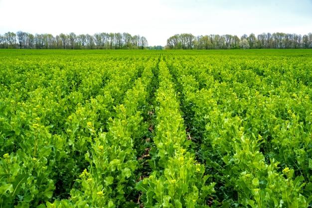 開花前にストリップティル技術を使用して播種された菜種畑。