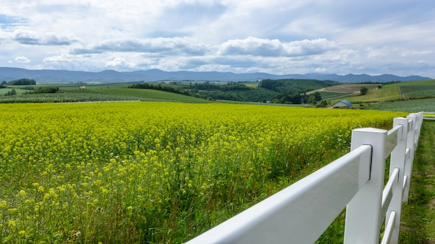 Rapeseed field and the white wood fence in japan